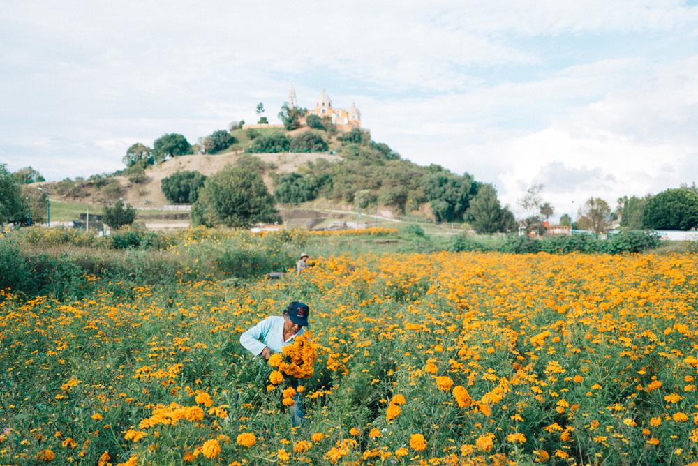Bright orange marigolds are picked for Dia de los Muertos in Puebla.