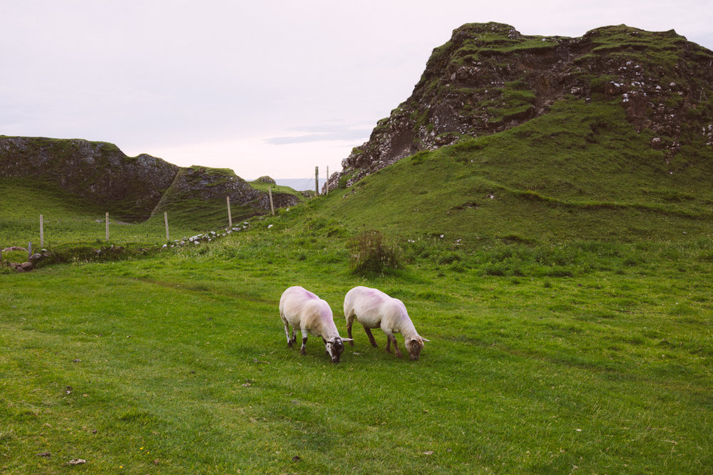 Freshly shorn sheep grazing on freshly shorn grass at Ballintoy.