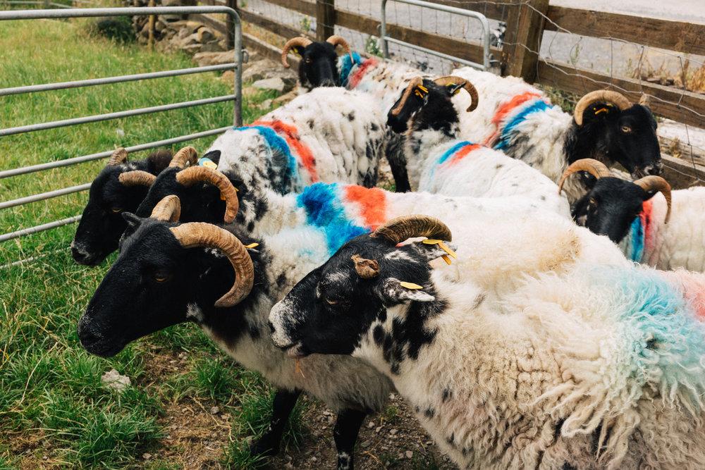 sheep_farms-5.jpg