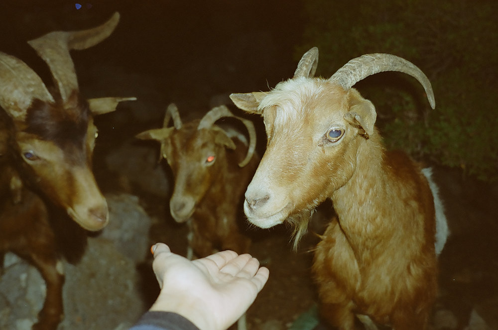 Goats in Panormitis
