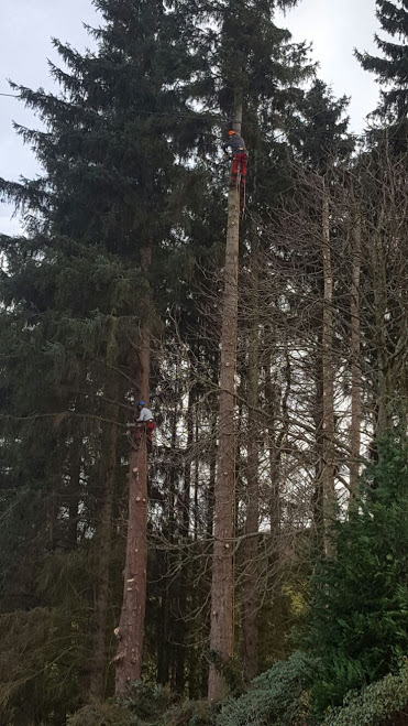 Sectional felling of large sitka spruce in a small woodland setting