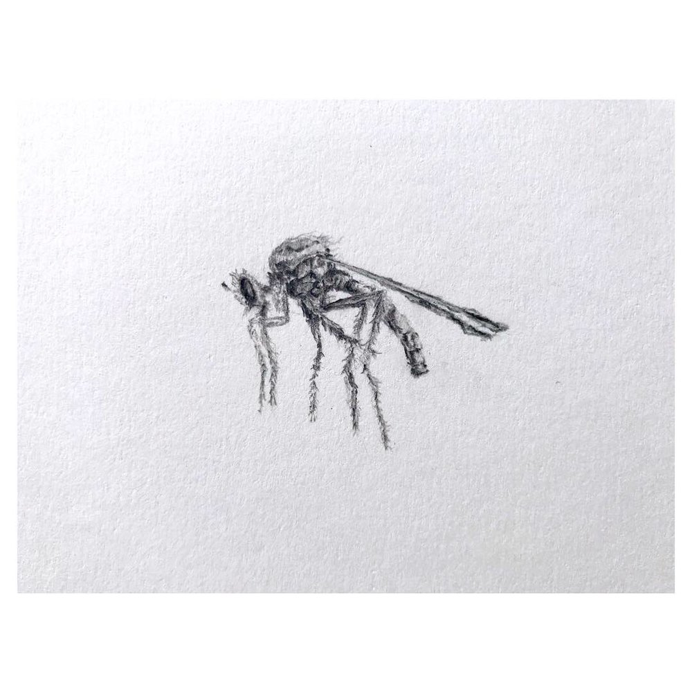 Asilidae (Robber Fly) • (close up) • Graphite on archival paper ∙ 7 x 9in ∙ 2019