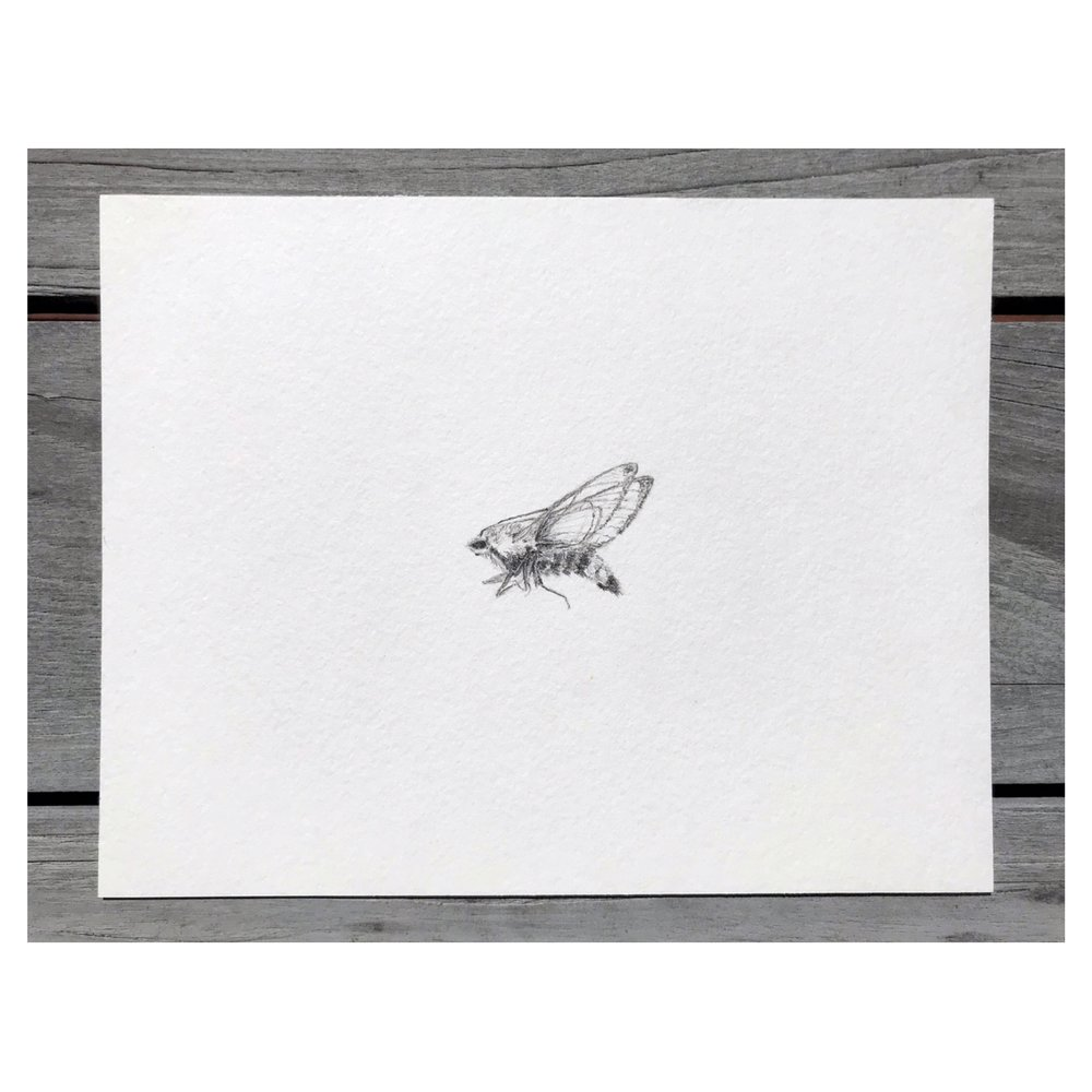 Hemaris diffinis (Snowberry clearwing moth) • Graphite on archival paper ∙ 7 x 9in ∙ 2019
