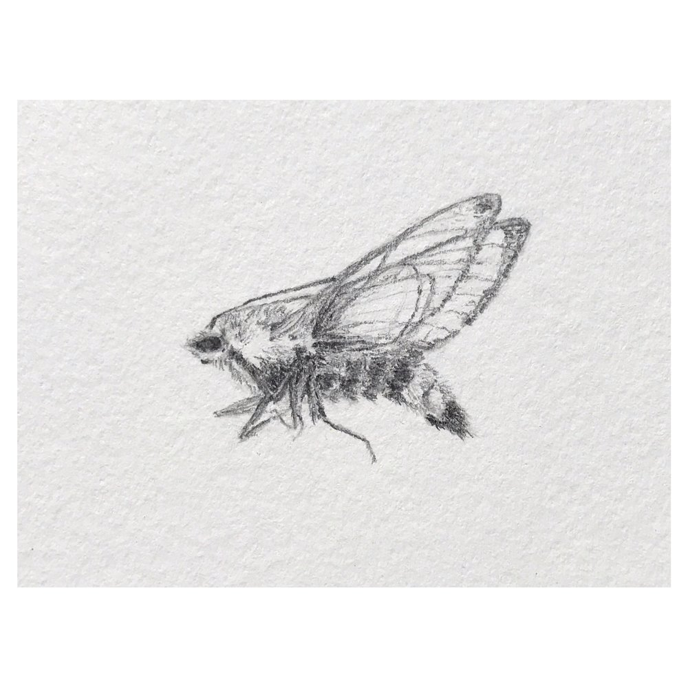 Hemaris diffinis (Snowberry clearwing moth) • (close up) • Graphite on archival paper ∙ 7 x 9in ∙ 2019