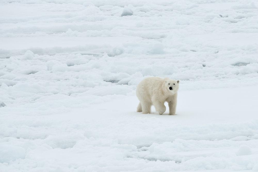 Isbjørn Svalbard3.jpg