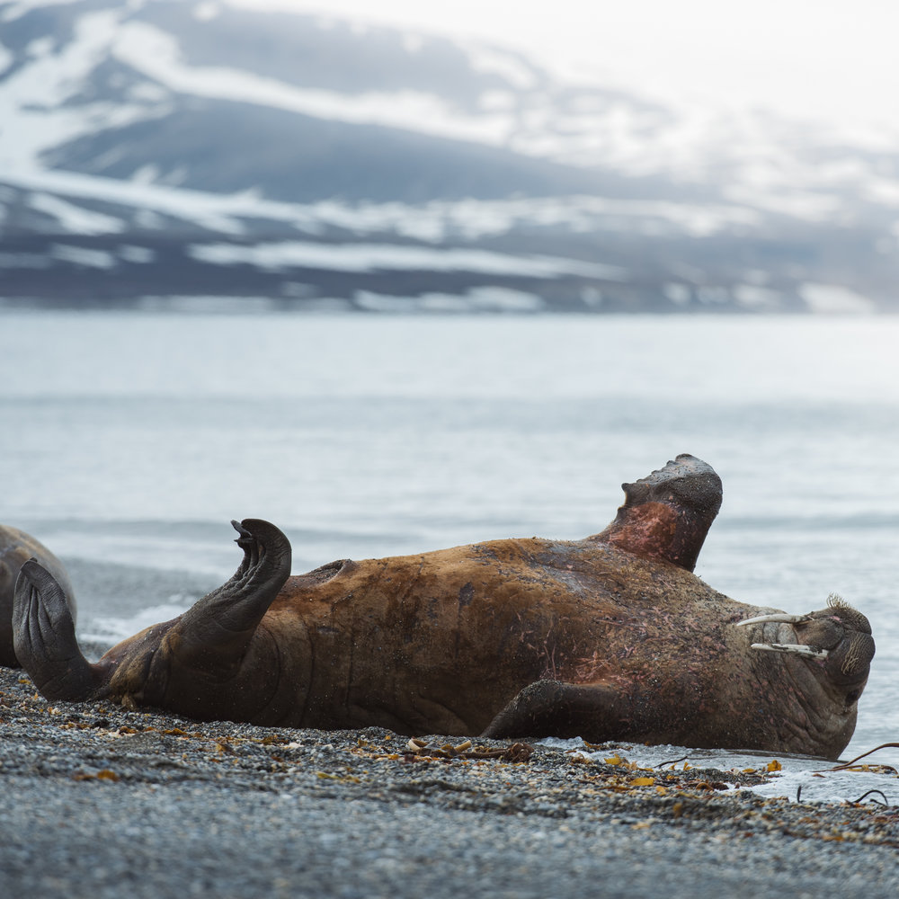 Hvalross Svalbard June 2018.jpg