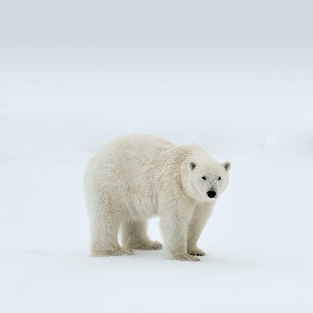 Isbjørn5.jpg