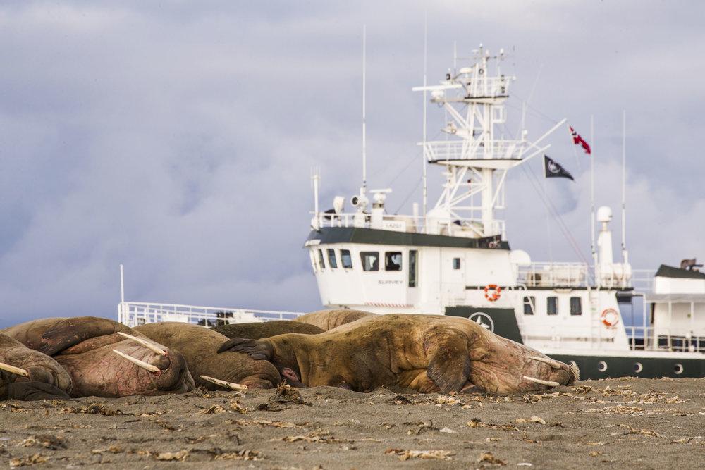 Walrus at Poolepynten.jpg