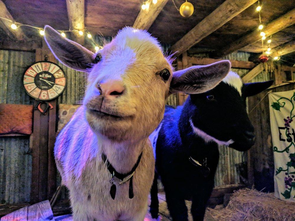 goat-yoga-goats.jpg