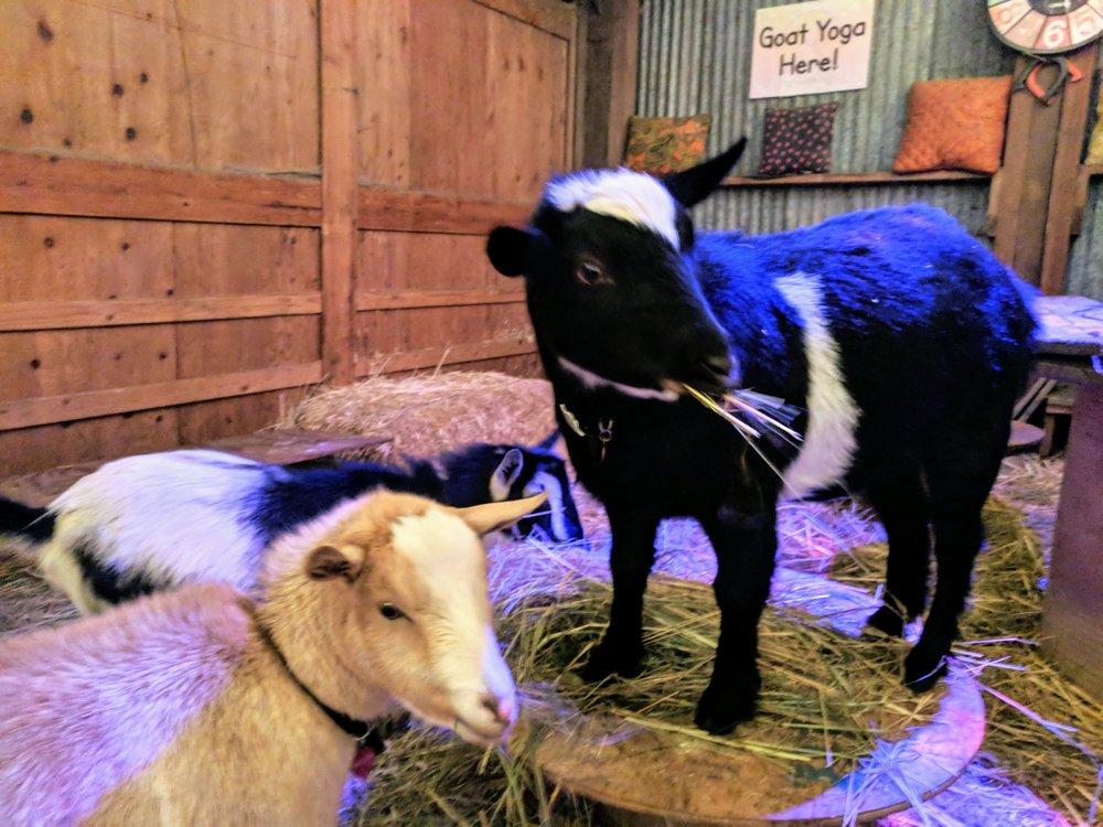 goats-eating.jpg