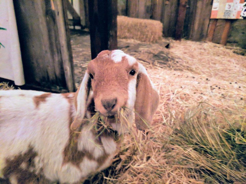 romeo-goat-eating.jpg