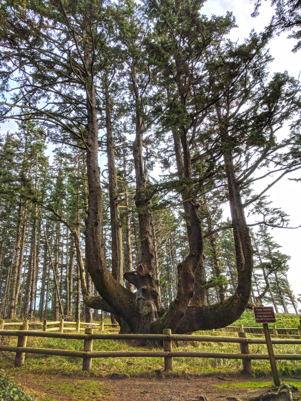 Oregon's largest Sitka spruce aka the Octopus Tree