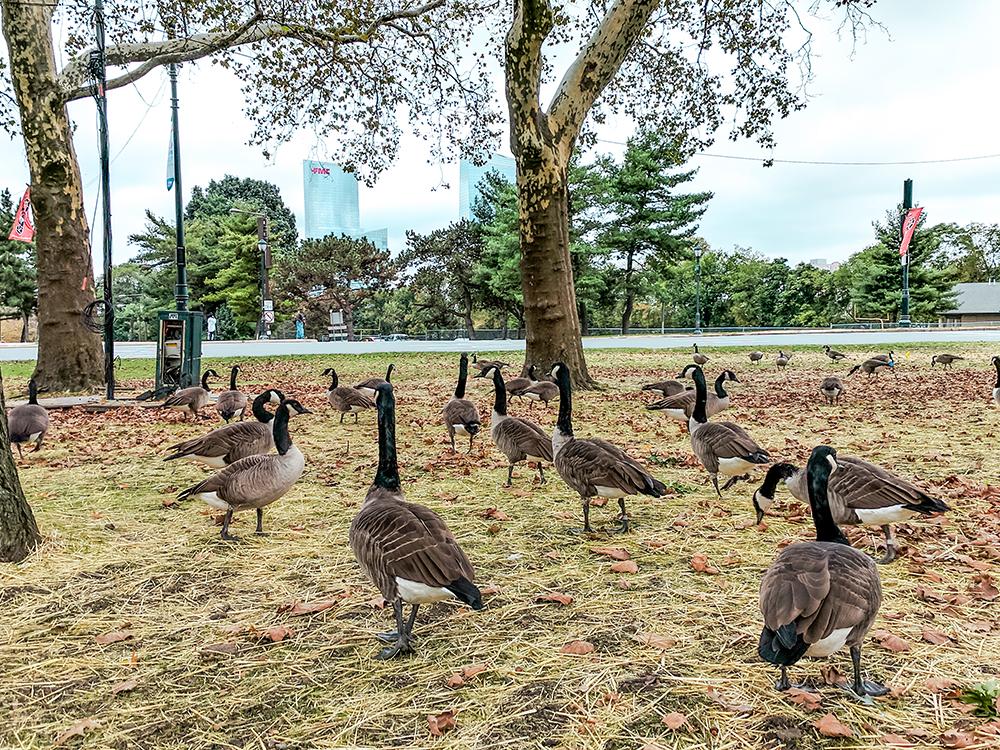 philly-geese.jpg