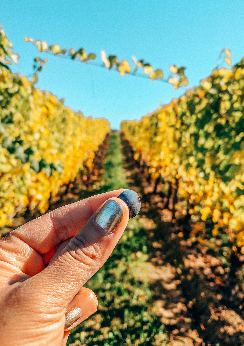 Adelsheim vineyard grape