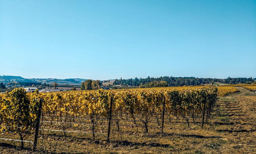 Adelsheim vineyard view