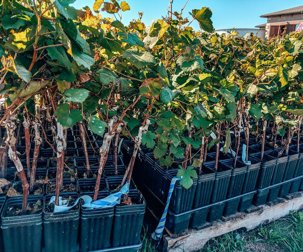 Adelsheim baby vines