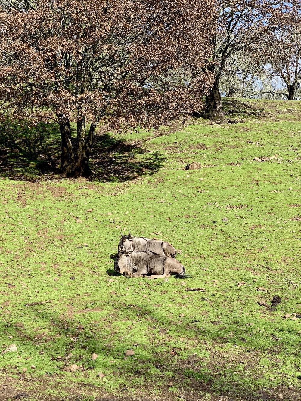 Safari West wildebeests