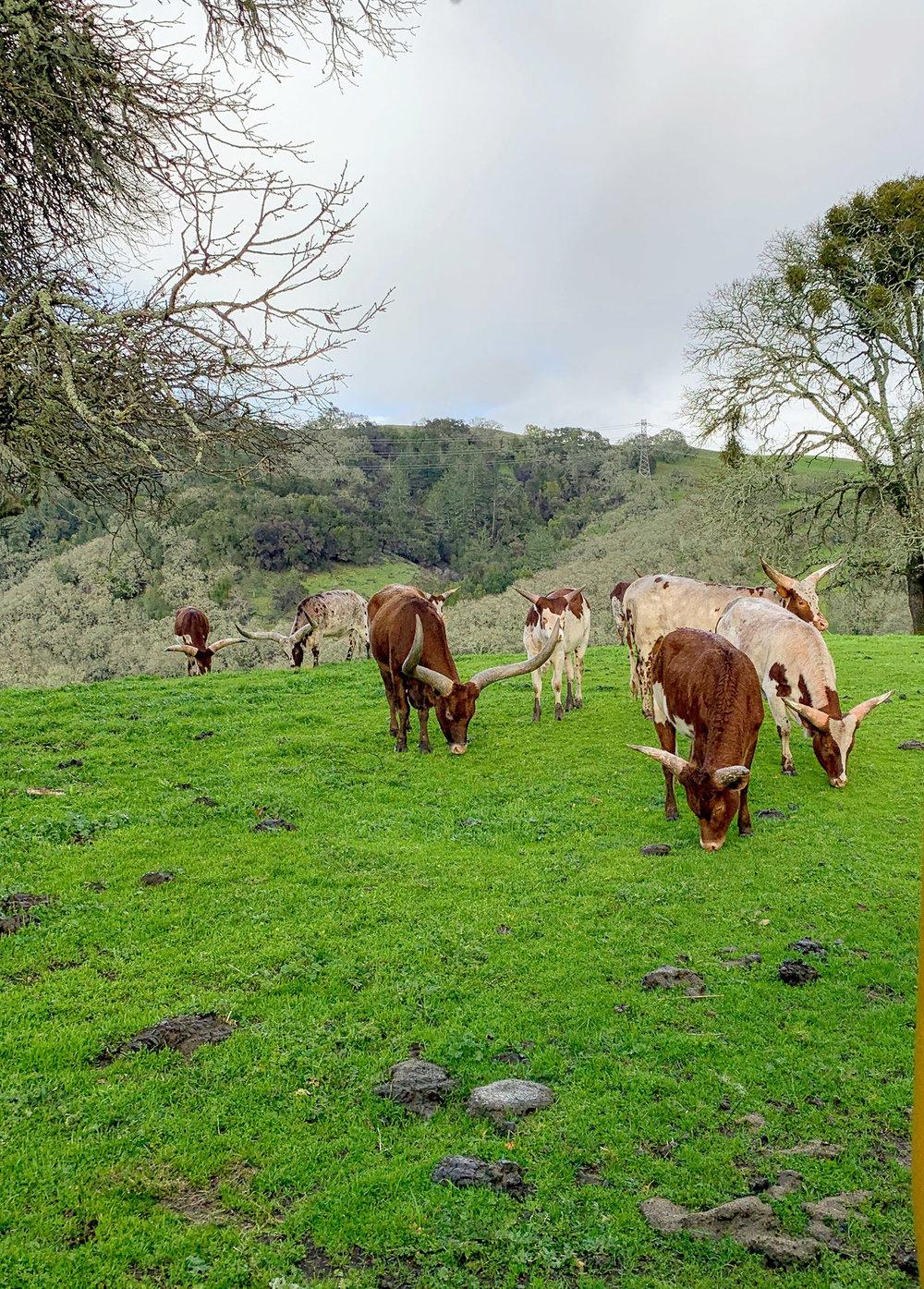 Safari West long horn cattle