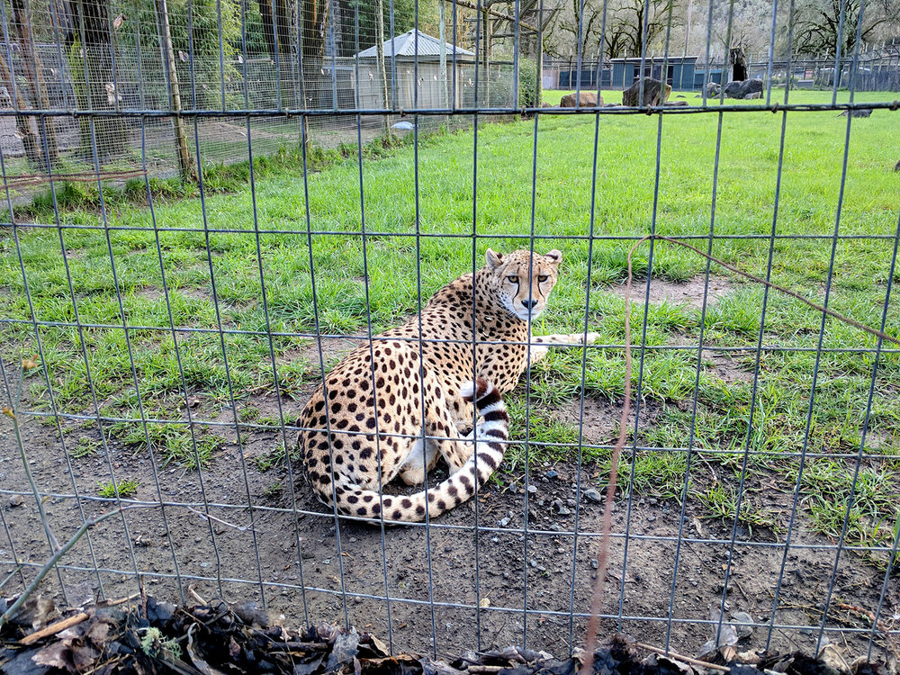 Safari West cheetah