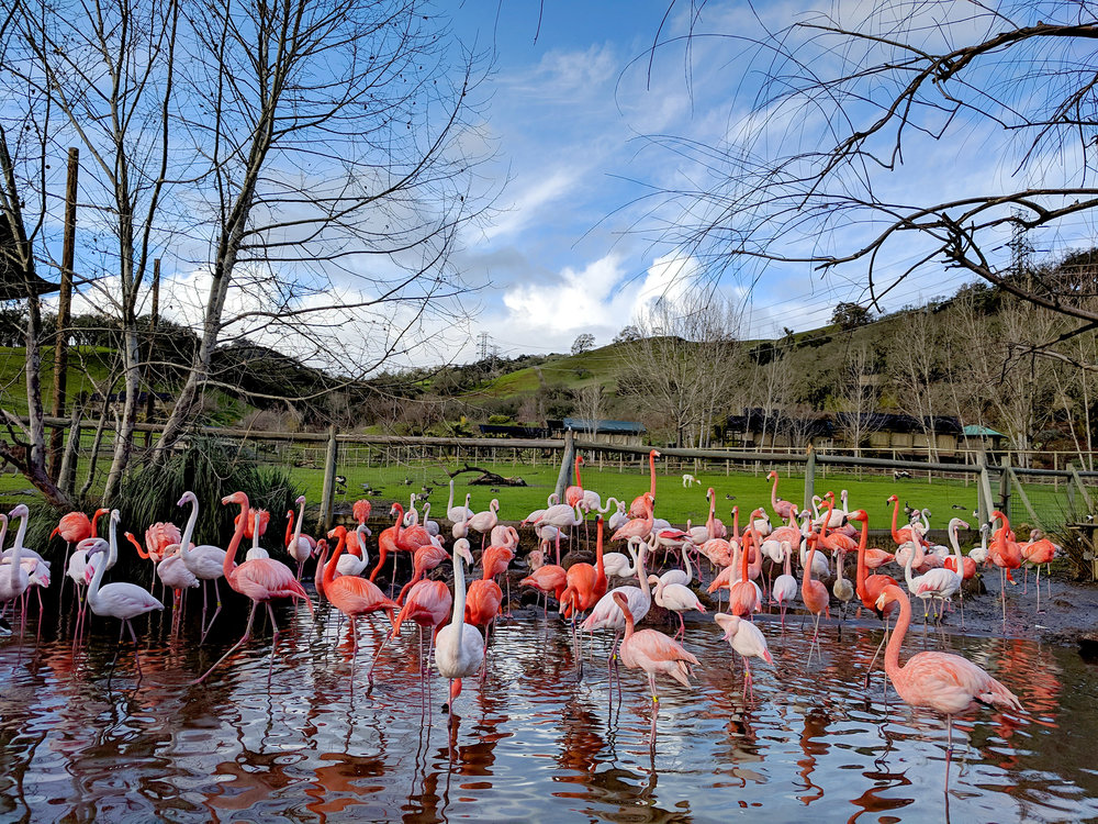 Safari West flamingos