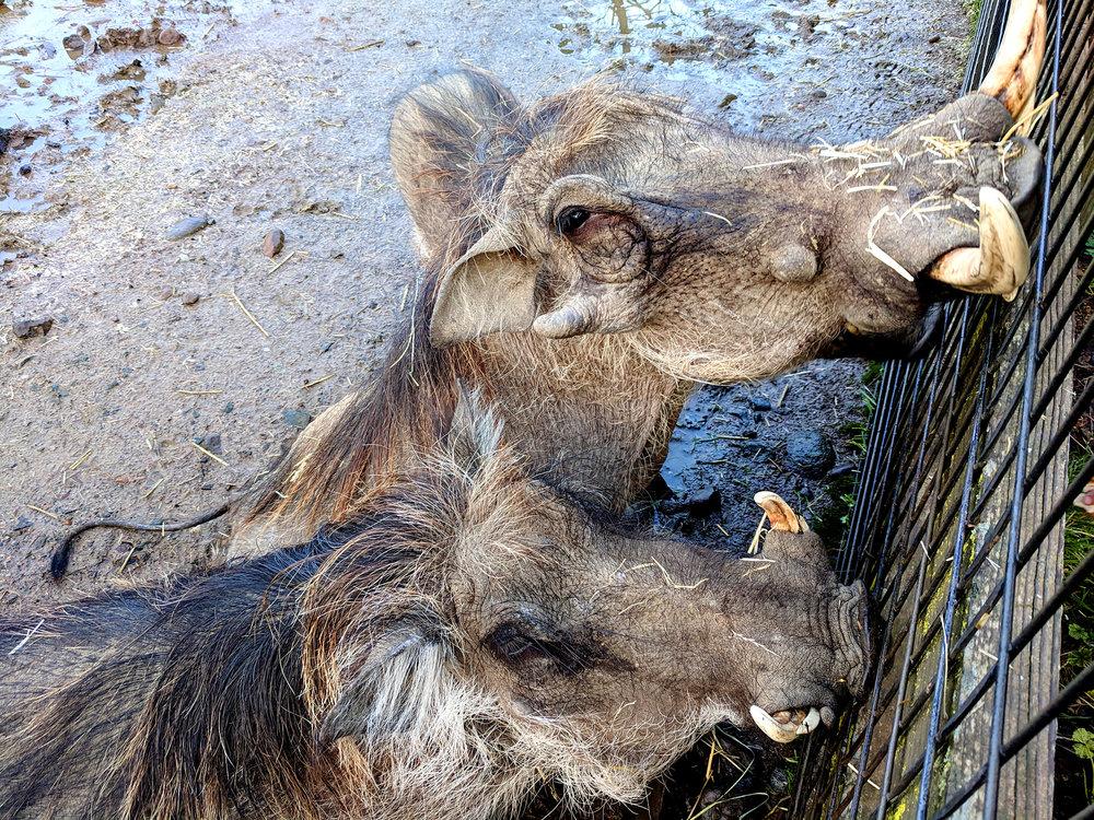 Safari West warthogs