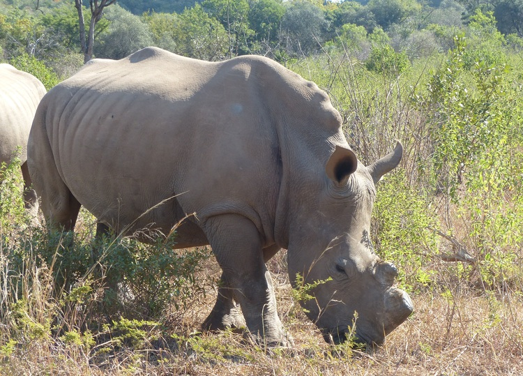 LUNAR, THE FIRST ORPHAN RHINO THAT ARRIVED AT CFW. HER HORNS, AS WELL AS THOSE OF ALL OTHER ORPHANS ARE REGULARLY REMOVED TO DETER POACHERS.