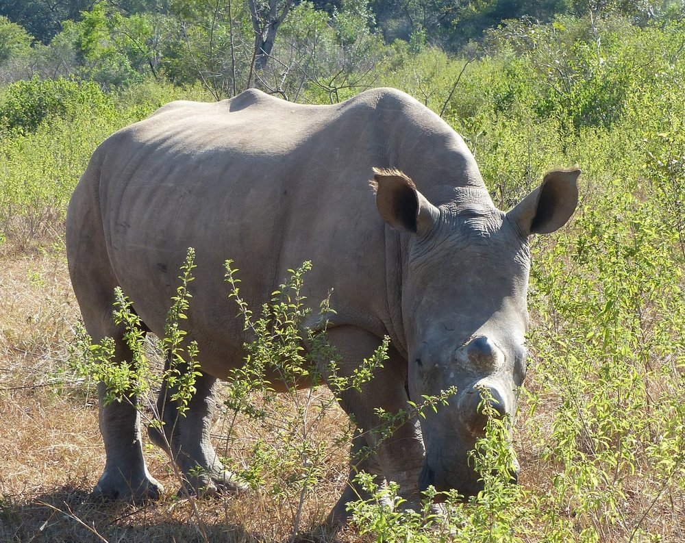 STORM IS THE OLDEST MALE RHINO AT THE REHABILITATION CENTER. HE IS JUST A FEW MONTHS YOUNGER THAN LUNAR, AND THEY ARE OFTEN SEEN TOGETHER.