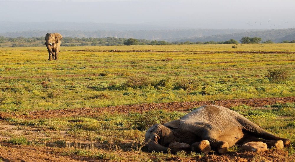 A lone elephant bull is approaching to see what is going on. Photo: Ida Hansen