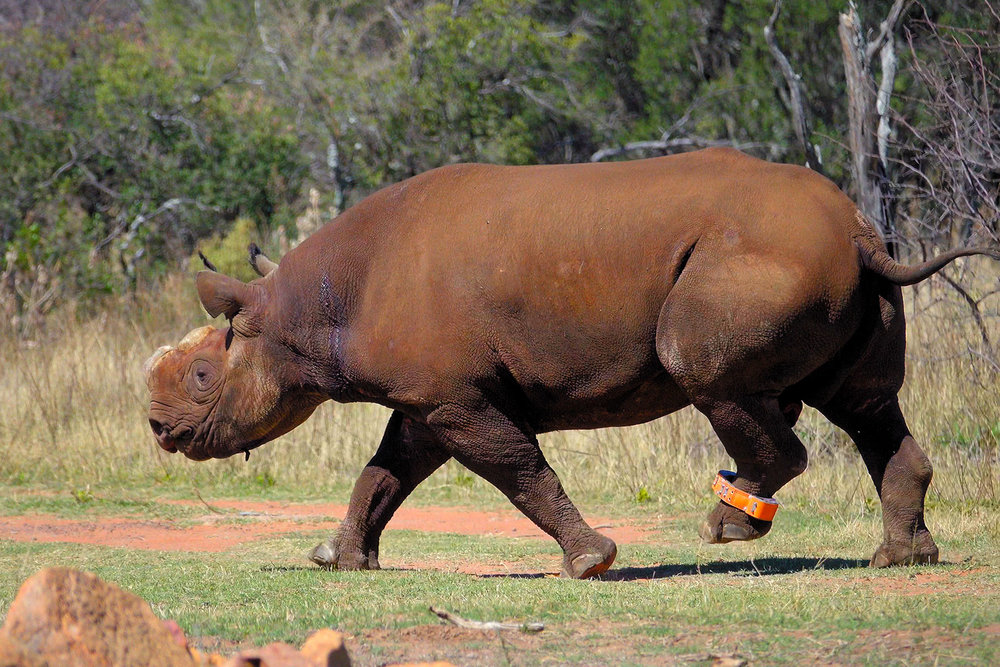 black-rhino-4.jpg