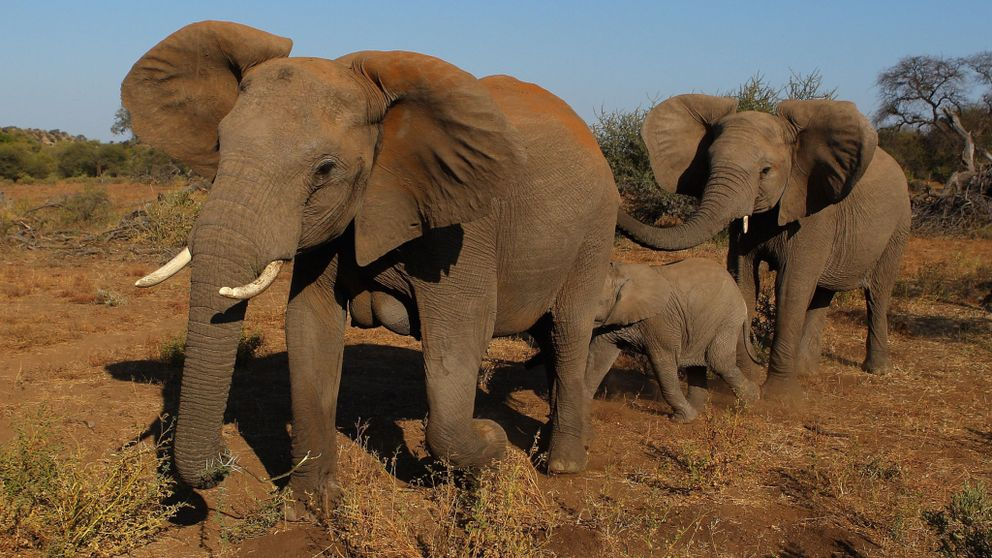 Poachers kill roughly 20,000 elephants every year