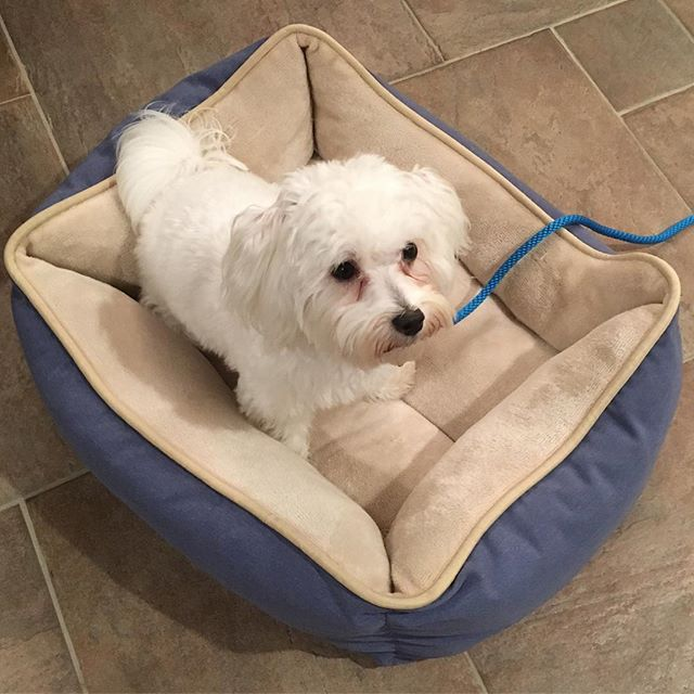 Meet Ollie, the 11-month-old Maltese! He's come a long way with his CCC training over the past several weeks. This is him practicing place stay on his favorite bed.