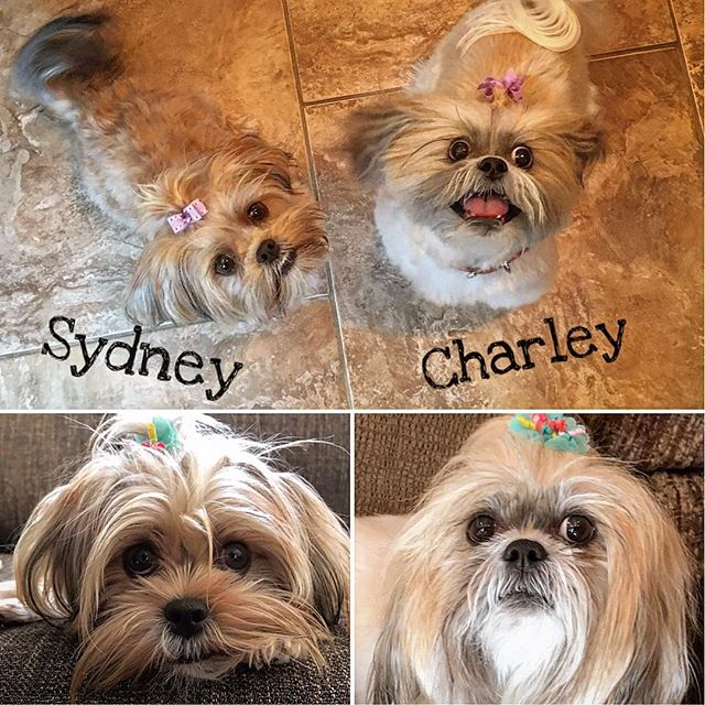 I'd like to introduce two more CCC students, sisters Sydney and Charley! Sydney is a 10-month-old Shorkie and Charley is a 6-year-old Shih Tzu. They've been rocking their training as much as they rock those hair-bows!