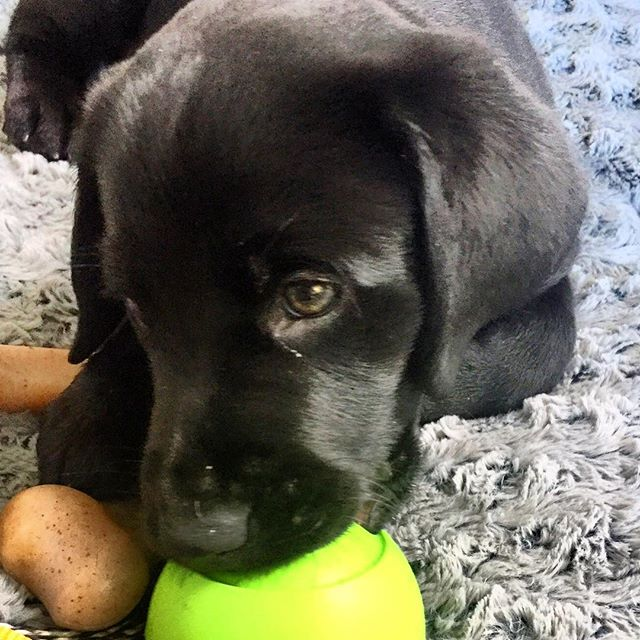 Did you know that it's never too early to start training? This is Duke, a 9-week-old black lab, and his humans started training with CCC before they even brought him home!