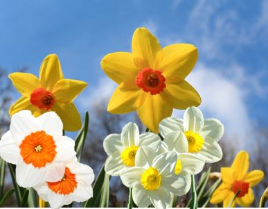 mixed daffodils.JPG