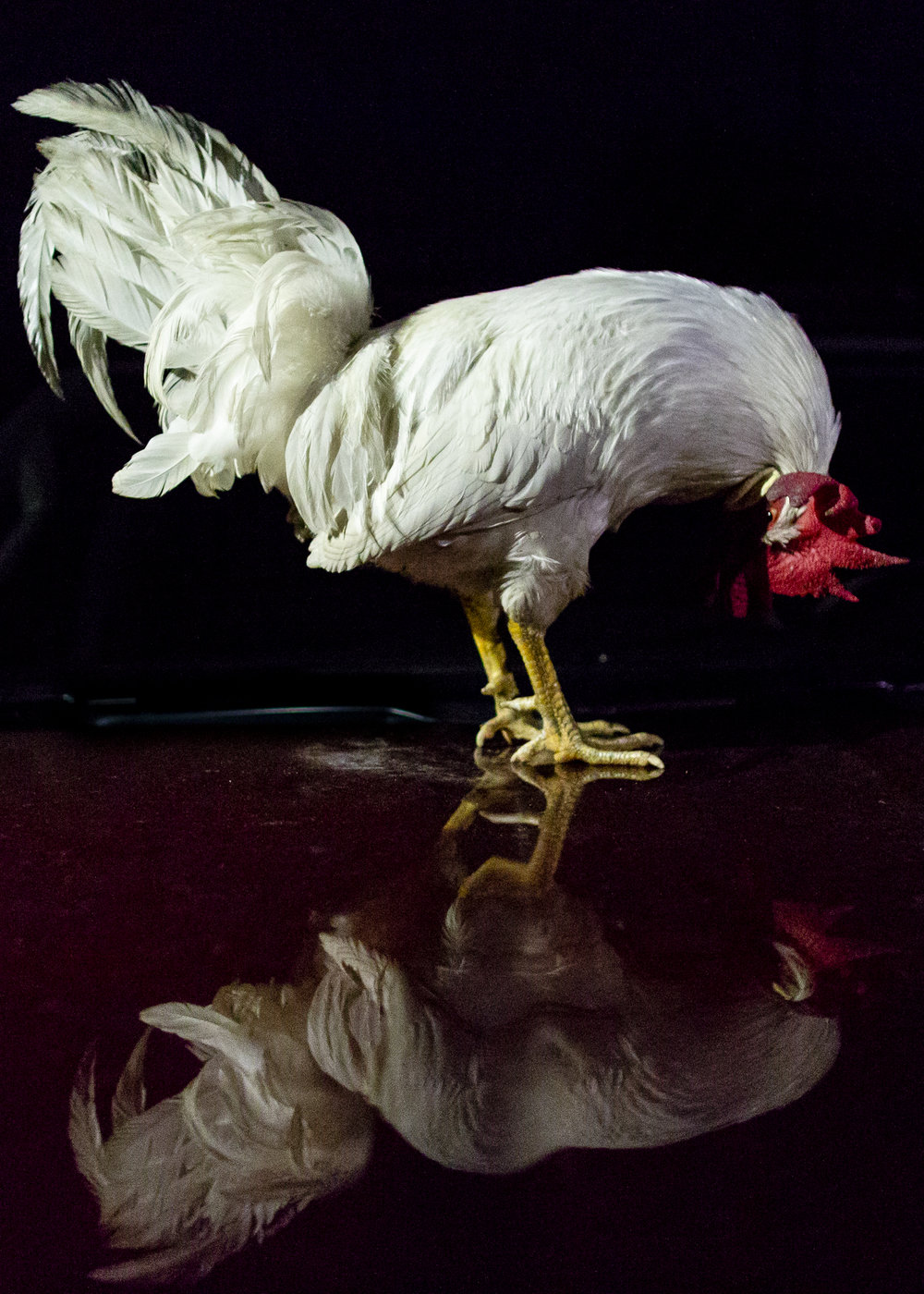 A chicken looks at its reflection while standing on the hood of a truck in the parking lot of Pleasant Valley Park in Kirtland, Ohio, on May 9, 2018.