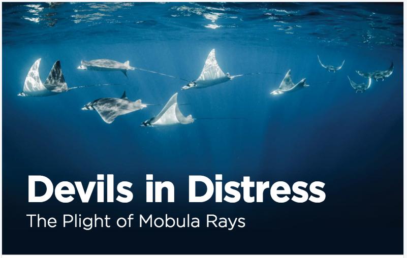 FACT SHEET -Devils in Distress (Manta Trust)
