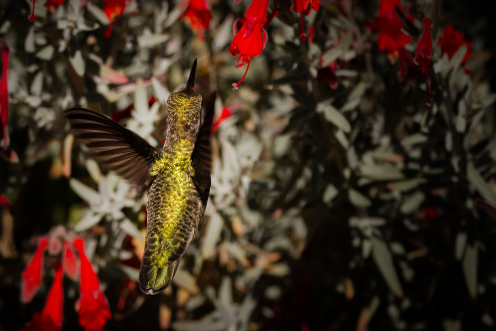 An Anna's Hummingbird in the Santa Cruz Mountains. Taken on 08/15/2010 by James Fike Photography.