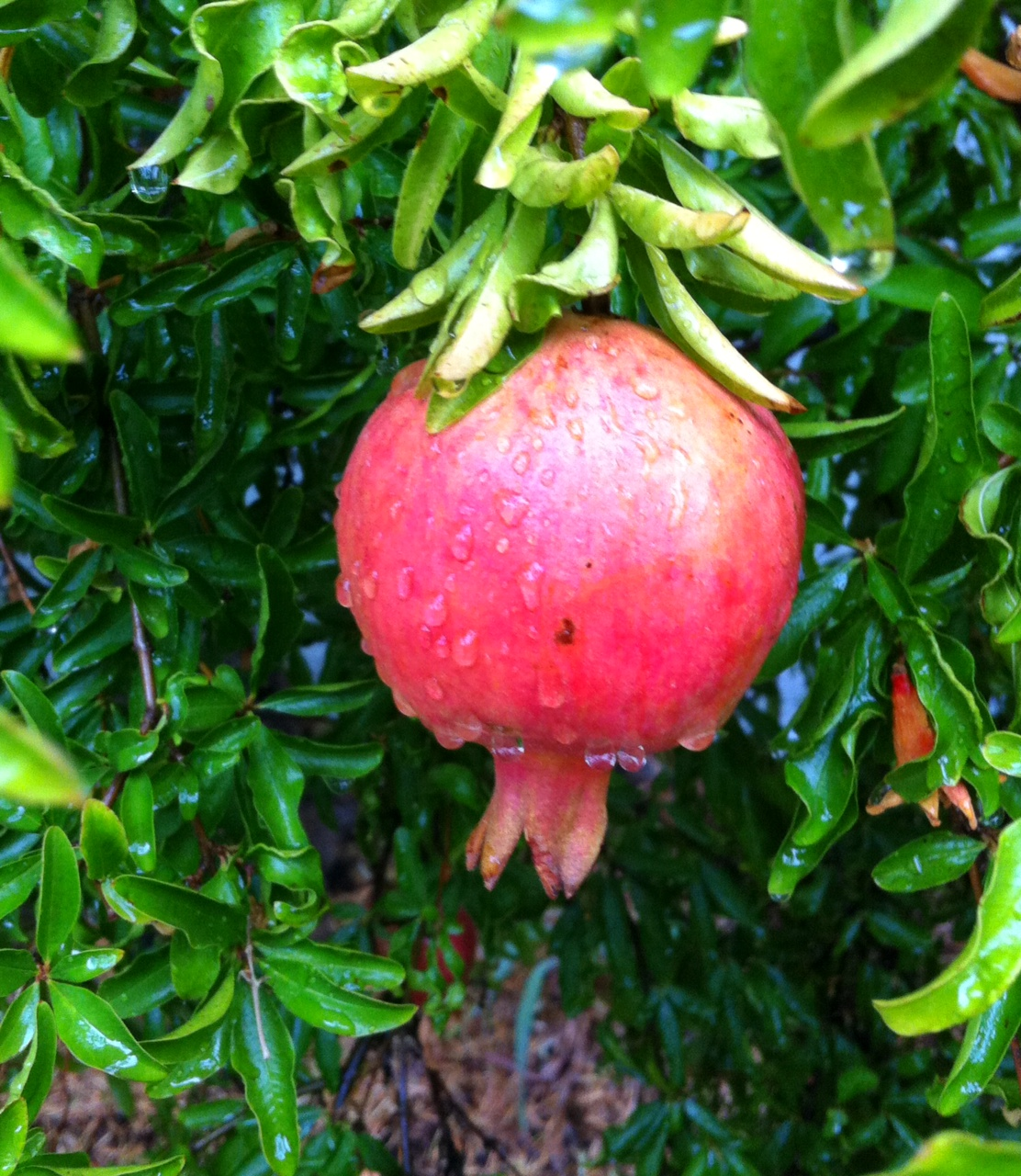 Pomegranate on the first day of the New Year 5775; the day of the first rain.