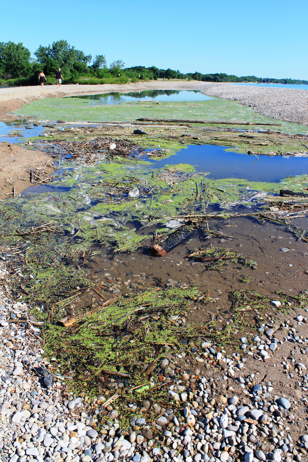 Algae growth at the mouth of the Pike River