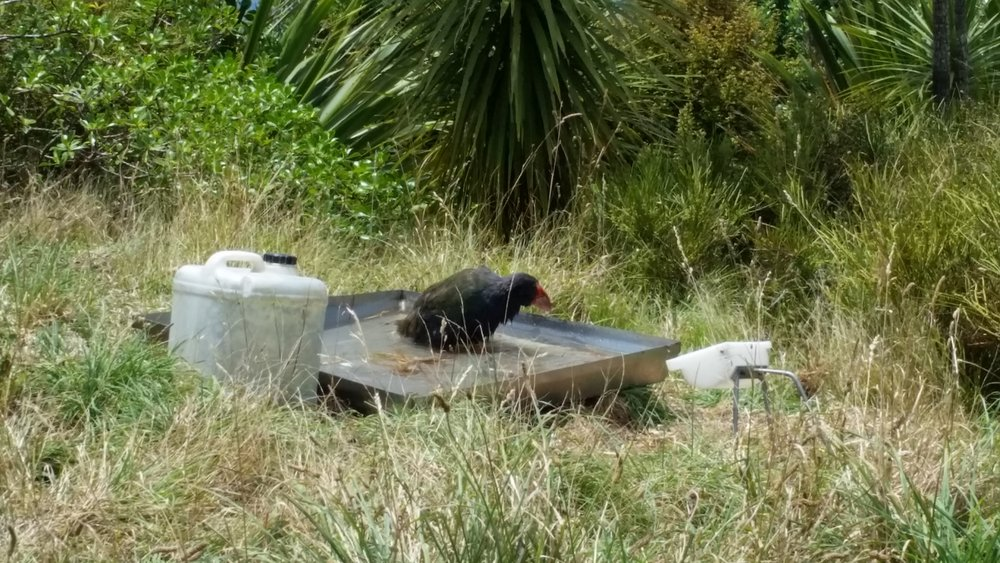 A takahe taking a bath spotted after the gift shop.