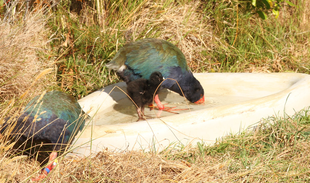 Young takahe chick