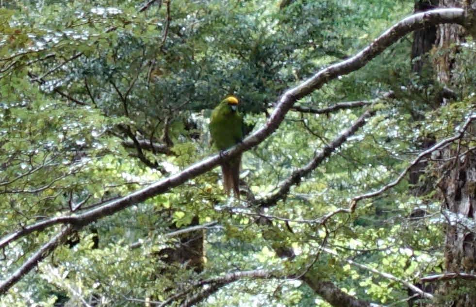 ellow-crowned parakeet.