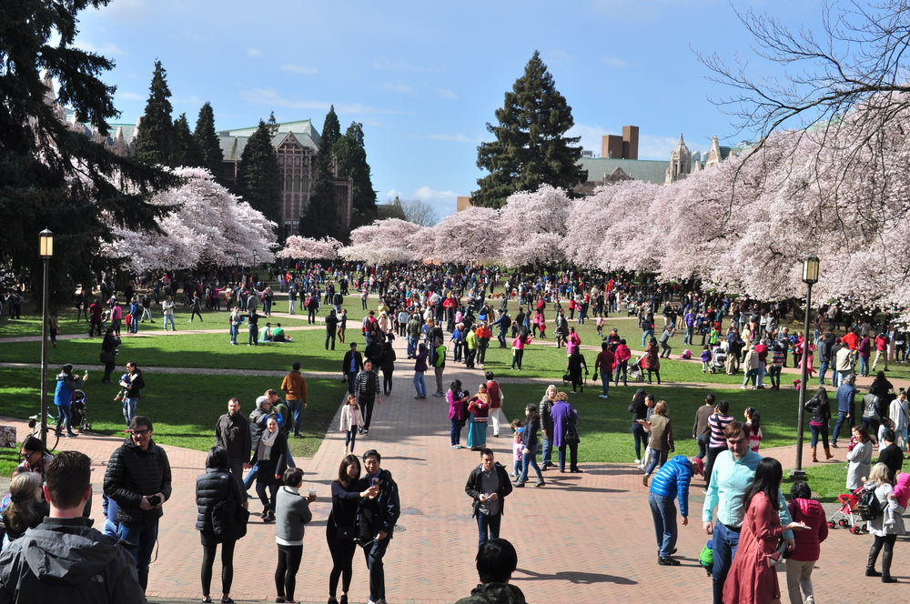 University_of_Washington_Quad_cherry_blossoms_2017_-_06.jpg