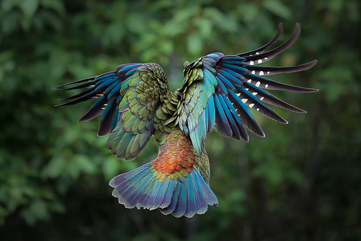 The Kea, NZ's bird of the year in 2017, is the only alpine parrot in the world and with a population of 3000-7000 is endangered