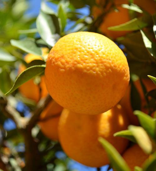 bitter-orange.jpg