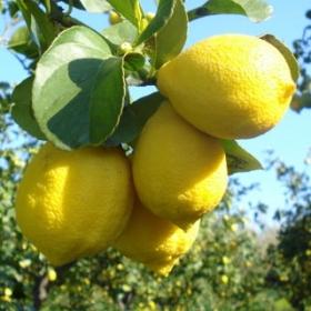 limone-femminello.jpg