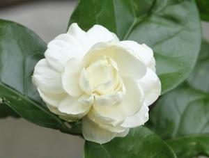 jasmine-sambac-small.jpg