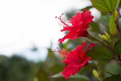 Hibiscus - (Hibiscus Sabdariffa)
