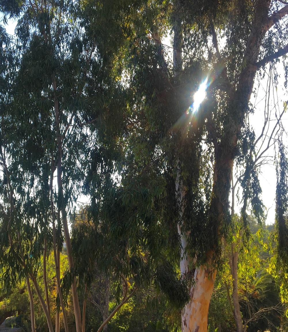Eucalyptus globulus  in Rancho Santa Fe, Ca.