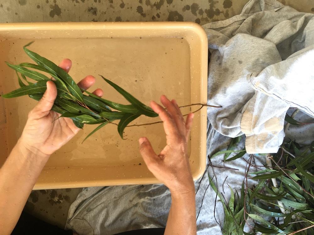 Preparing the Eucalyptus for the distillation process.